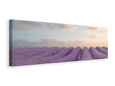 Panoramic Canvas Print The Blooming Lavender Field