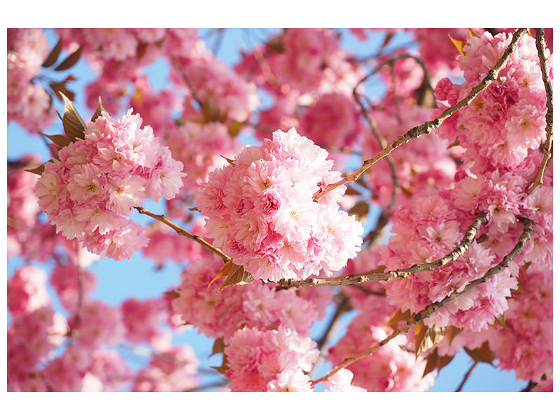 Canvas print Beautiful cherry blossoms